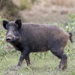 Wild Boar Shoulder Boneless