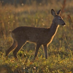 Roe Deer Filet