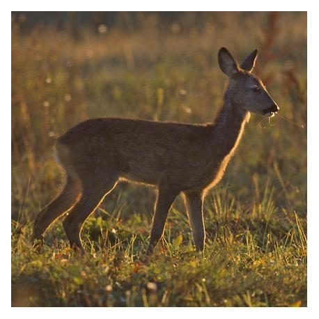 Roe Deer Filet